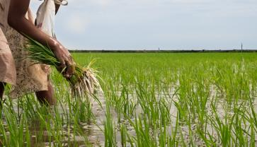 Côte d'Ivoire: Quest to become West Africa's rice bowl