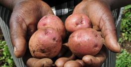 Potato Kenya Grow Africa